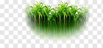Sugarcane cutout PNG & clipart images.