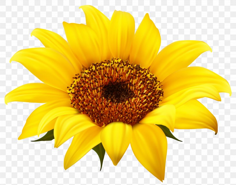 Common Sunflower Clip Art, PNG, 4154x3264px, Common.
