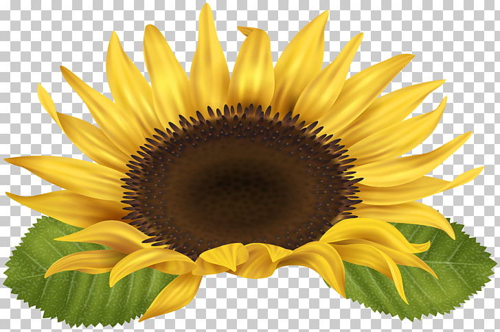 Sunflower , sunflower PNG clipart.