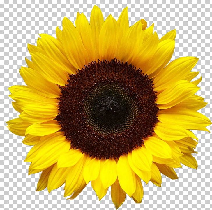 Sunflower PNG, Clipart, Sunflower Free PNG Download.