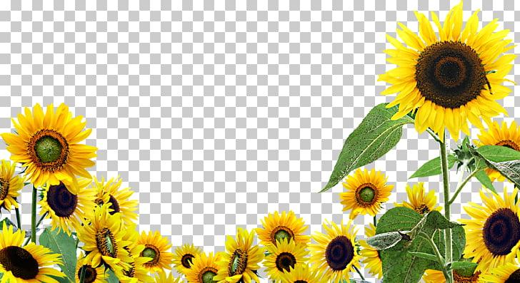 Desktop Common sunflower , sunflower oil, yellow sunflowers.