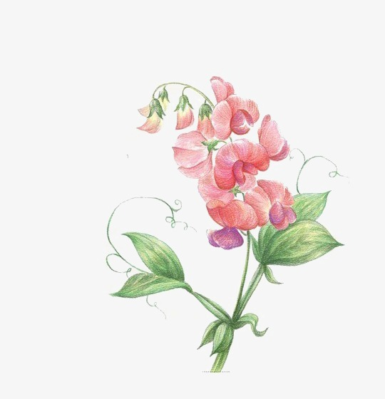 Sweet pea clipart 6 » Clipart Station.