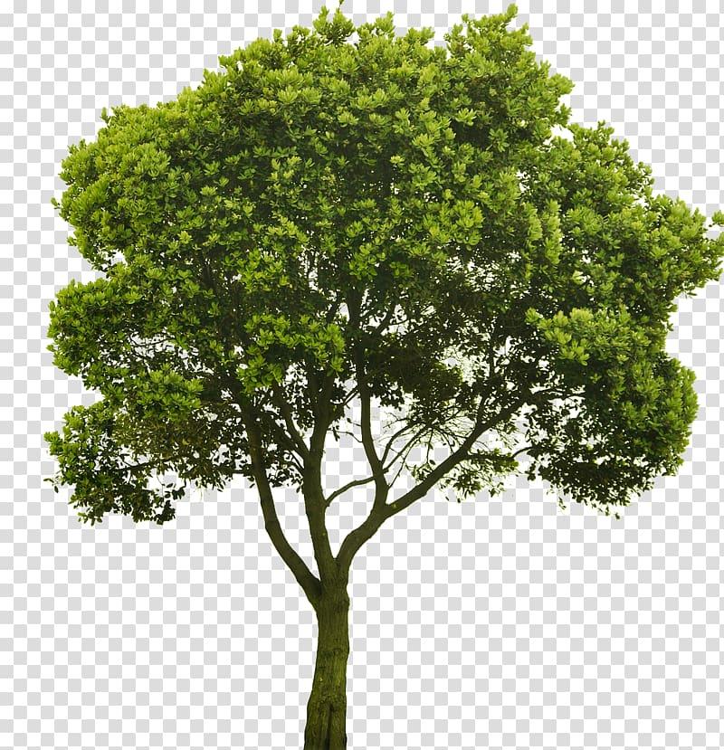 Choosing Small Trees American sycamore Shrub, tree.
