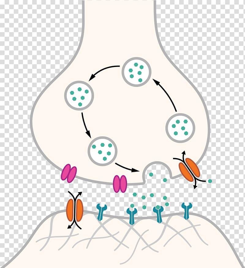 Chemical synapse Neuron Nervous system Axon, synapse.