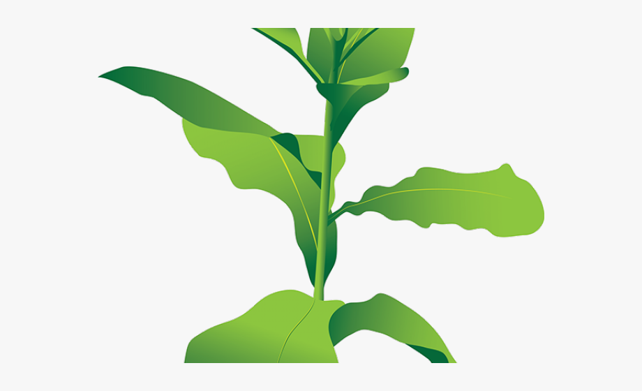 Bush Clipart Tobacco Plant.