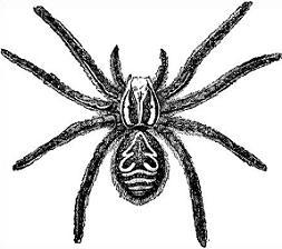 Free tarantula Clipart.