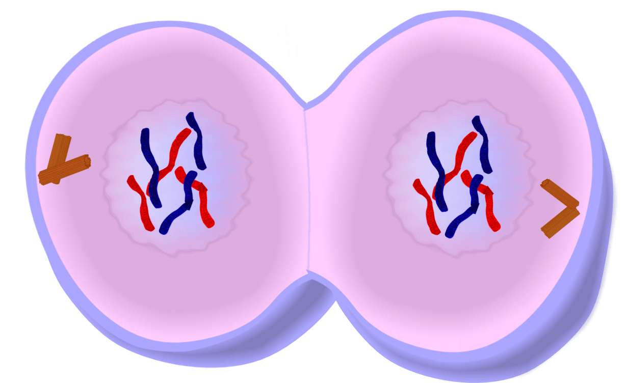 Clipart telophase clipart images gallery for free download.