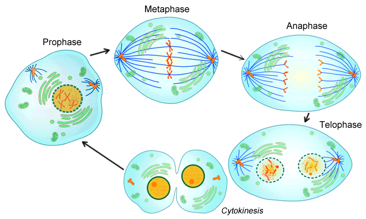 Collection of free Mitosis drawing telophase. Download on.