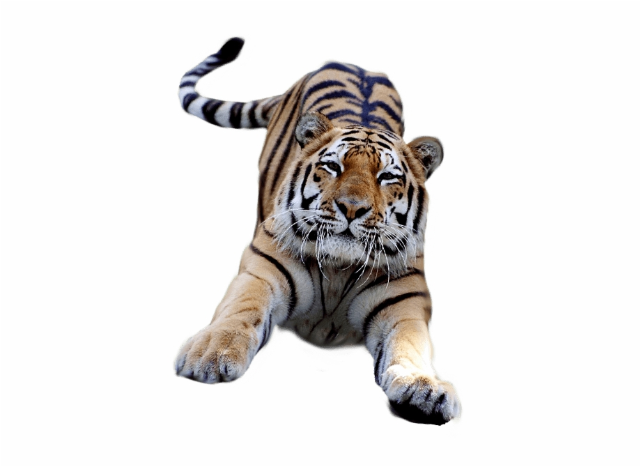 Jumping Tiger Tiger With A Transparent Background.