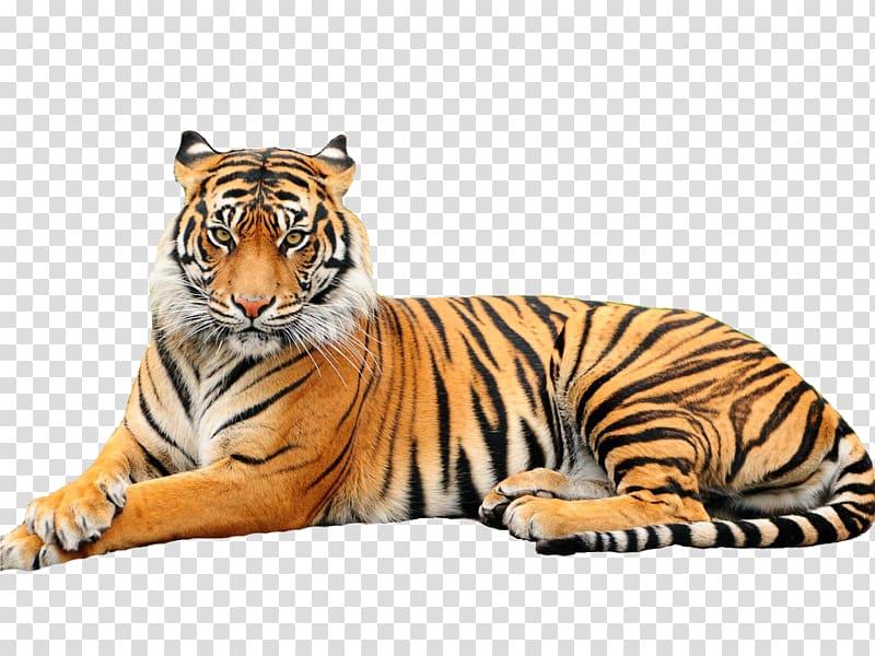 White tiger Black tiger Bengal tiger Zoo Animal, white tiger.