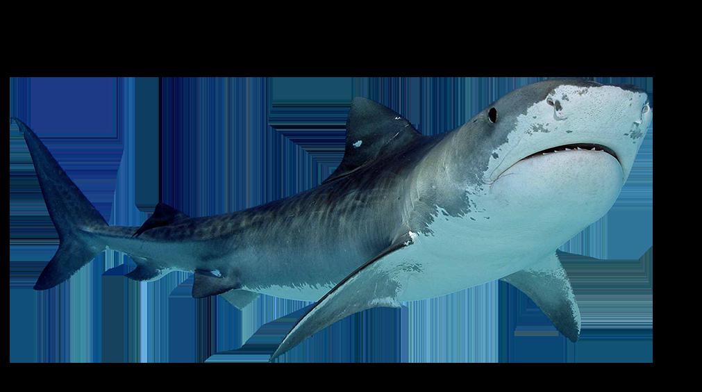 Tiger Shark clipart ocean creature #6.