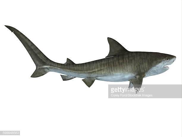 26 Tiger Shark Stock Illustrations, Clip art, Cartoons & Icons.