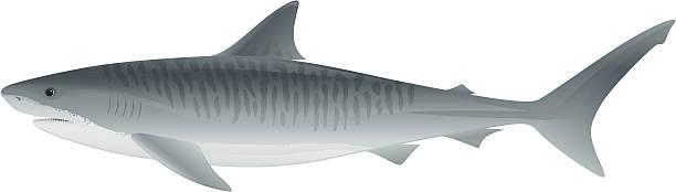 Best Tiger Shark Illustrations, Royalty.