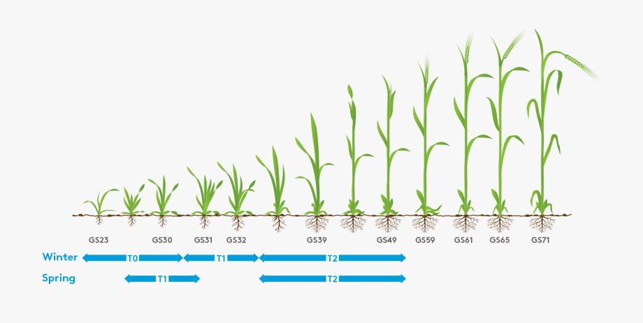 Winter Wheat Spray Timings , Transparent Cartoon, Free.