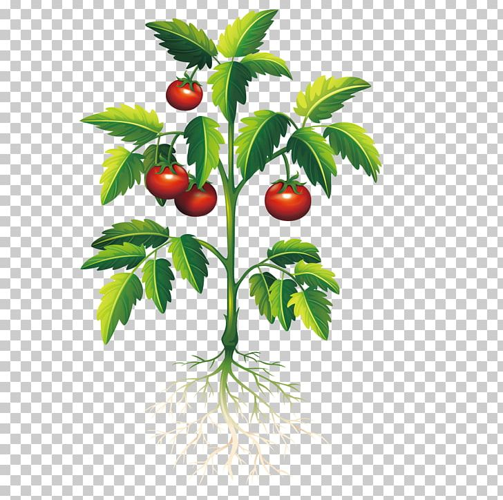 Plant Tomato PNG, Clipart, Branch, Cherry, Cherry Tomato, Crop, Food.