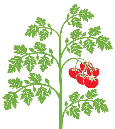 12,905 Tomato Plant Cliparts, Stock Vector And Royalty Free Tomato.