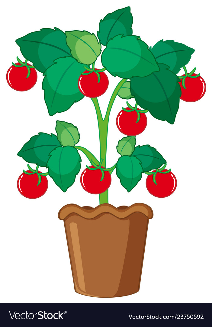 Isolated tomato plant in pot.