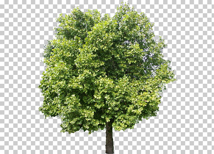 Tree Adobe Photoshop Elements, tree, green leafed tree PNG.