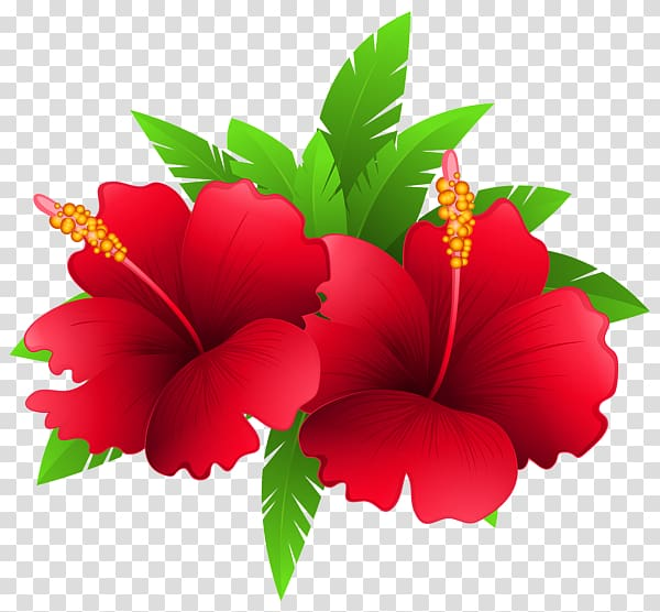 Red hibiscus flowers illustration, Shoeblackplant Flower.