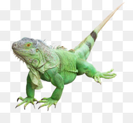 Tuatara PNG and Tuatara Transparent Clipart Free Download..