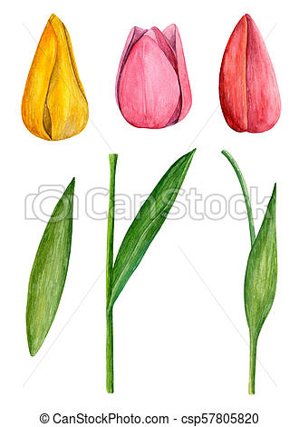Tulips clip art . Watercolor spring flowers.