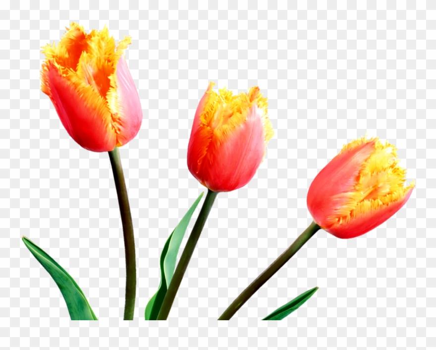 Spring Tulips Spring Flowers, Tulips, Clip Art, Tulips.