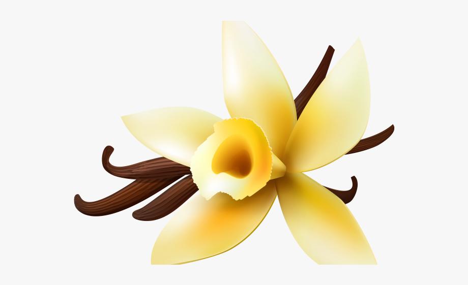 Vanilla Clipart Vanilla Orchid.