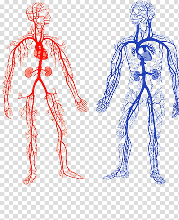Two human veins chart, Arteries and Veins Artery Circulatory.