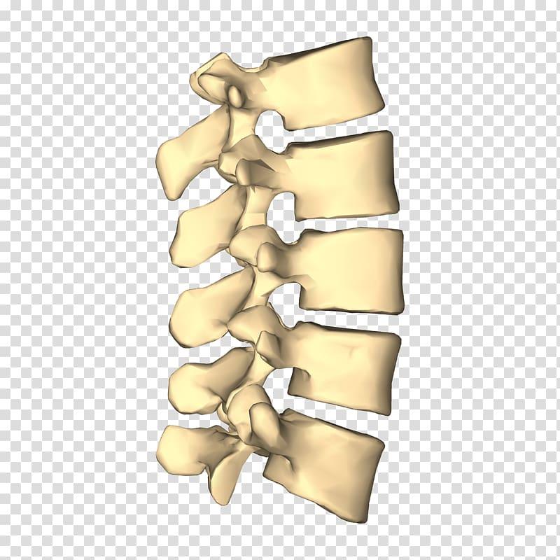 Lumbar vertebrae Vertebral column Cervical vertebrae.