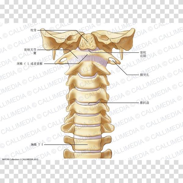 Cervical vertebrae Vertebral column Atlas Anatomy Ligament.