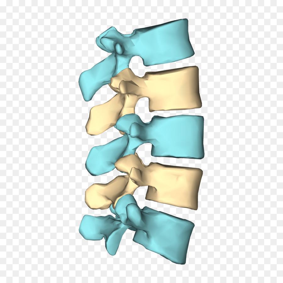 vertebra lumbar png clipart Vertebral column Lumbar.
