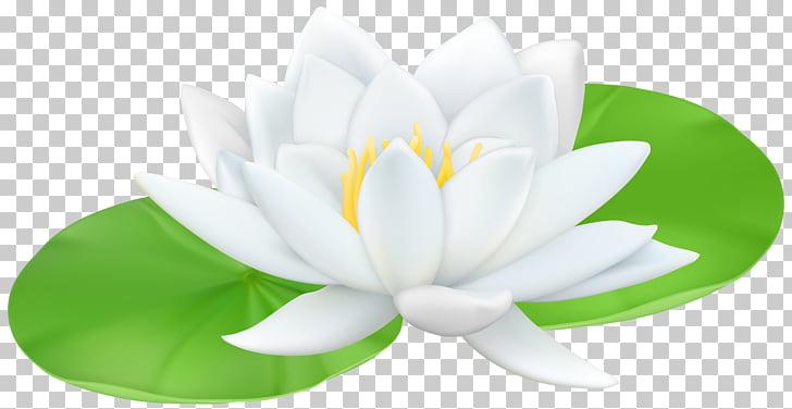 Water lily Nelumbo nucifera Lilium , waterlily PNG clipart.