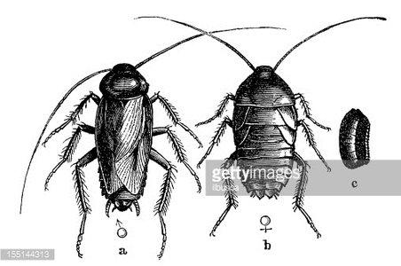 Oriental Cockroach or Waterbug (Blatta Orientalis) Clipart.