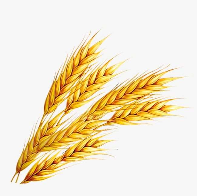 Wheat PNG, Clipart, Wheat, Wheat Clipart Free PNG Download.