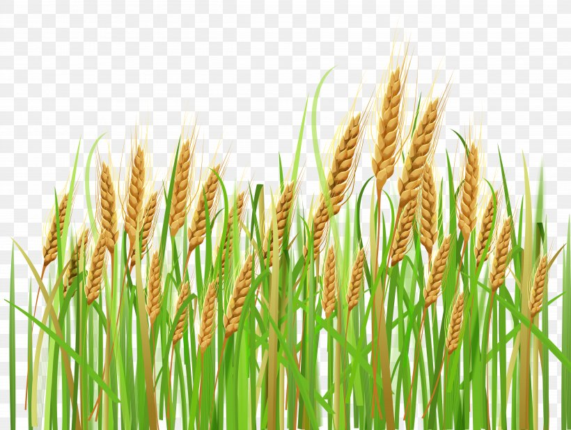 Wheat Cereal Ear Barley Clip Art, PNG, 5036x3799px, Common.