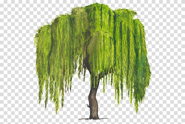 Green leafed tree, Tree Weeping willow Woody plant Drawing.