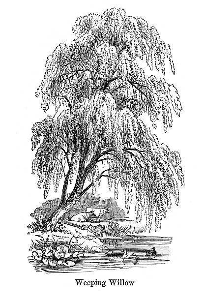 Vintage engraving showing a Weeping Willow Tree,1864.