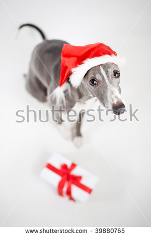 Christmas Whippet Stock Images, Royalty.