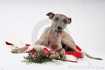 Clipart Whippet Christmas Free.