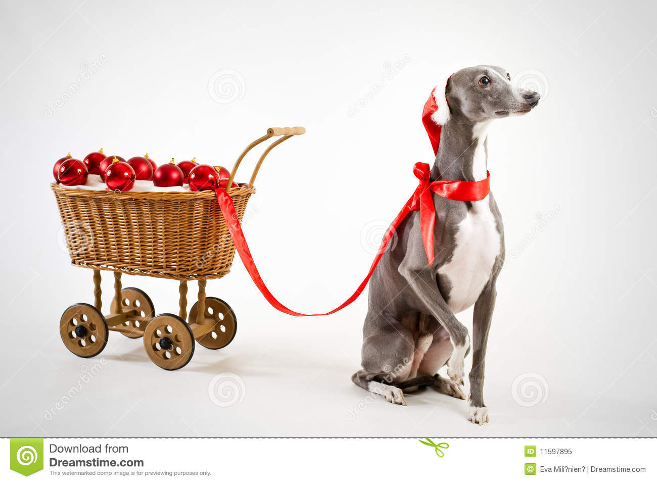 Christmas Whippet Stock Photos, Images, & Pictures.