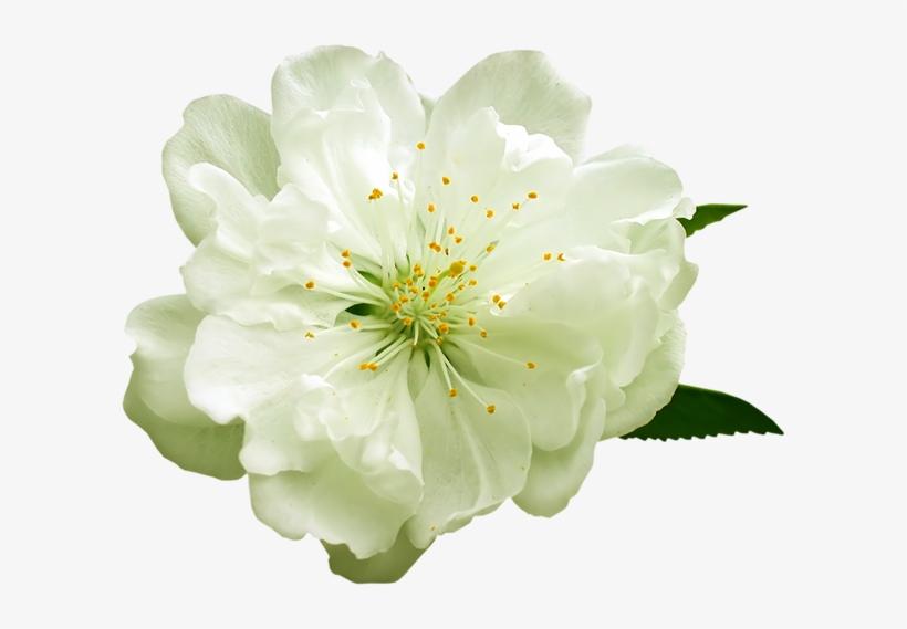 White Flower Png.