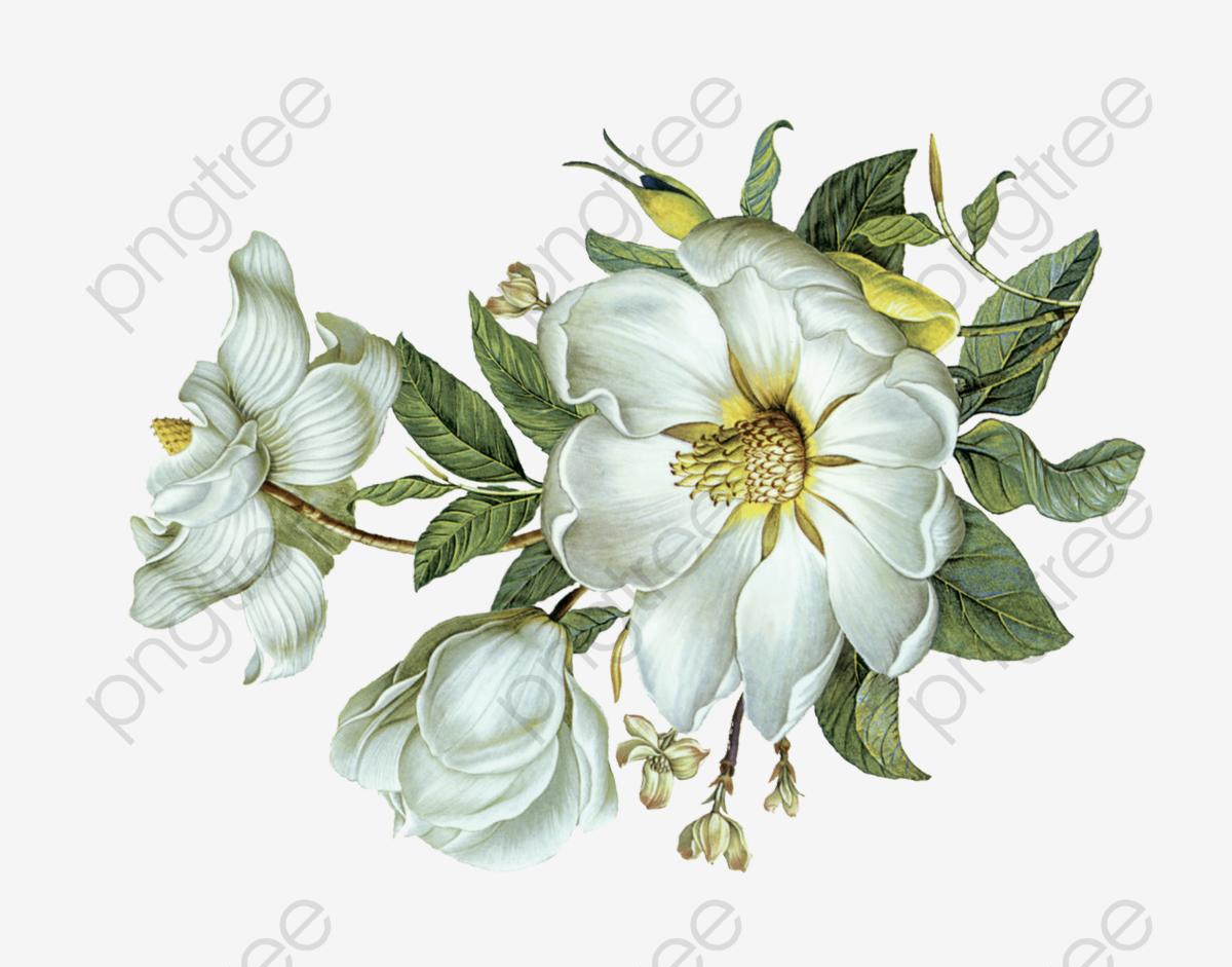 White Flowers Green Leaves, Flower, White Flowers, Green Leaves PNG.