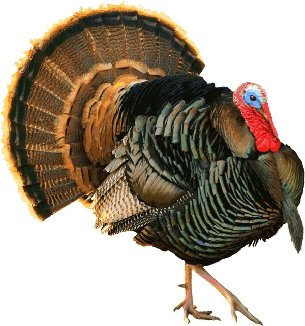 Real Turkey Clipart.