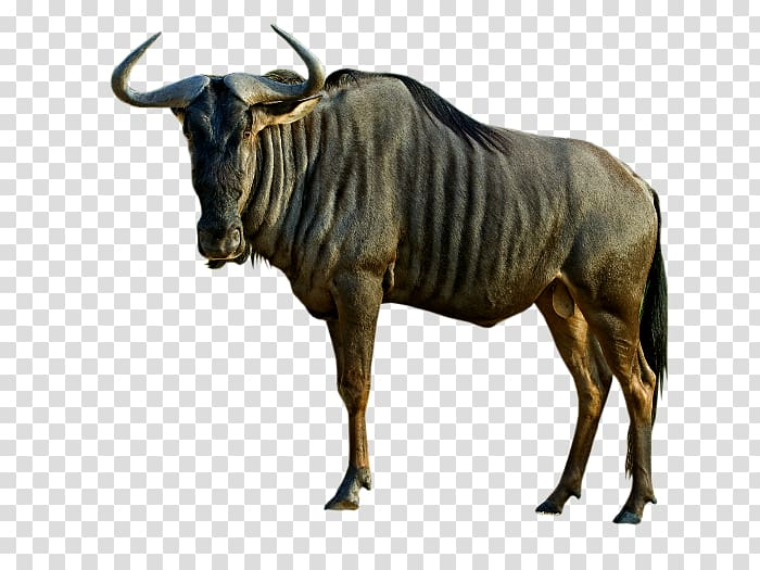 Black wildebeest Animal Antelope Blue wildebeest Dog, Dog.