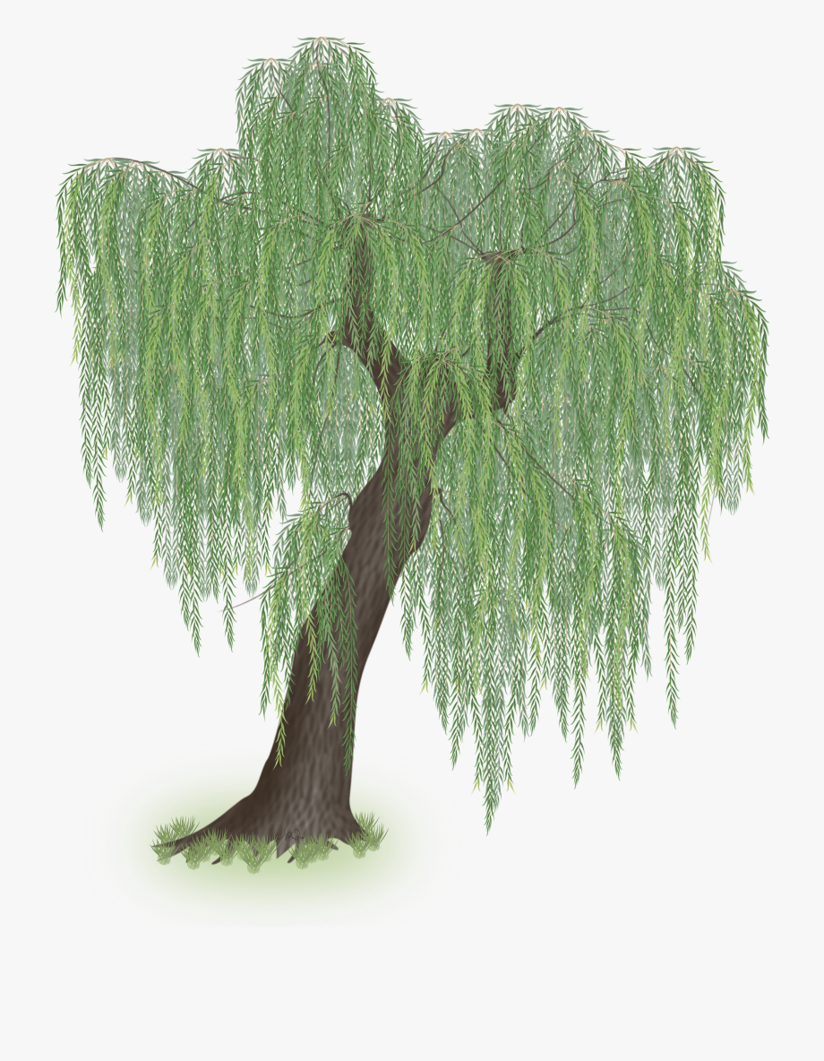 Weeping Willow Tree Clipart , Png Download.