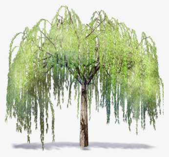 Free Willow Tree Clip Art with No Background.