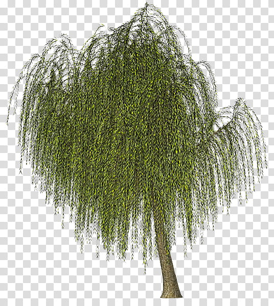 Weeping Willow Tree Drawing, Green, Salix Pierotii, Color.