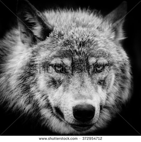 Wolf Stock Images, Royalty.