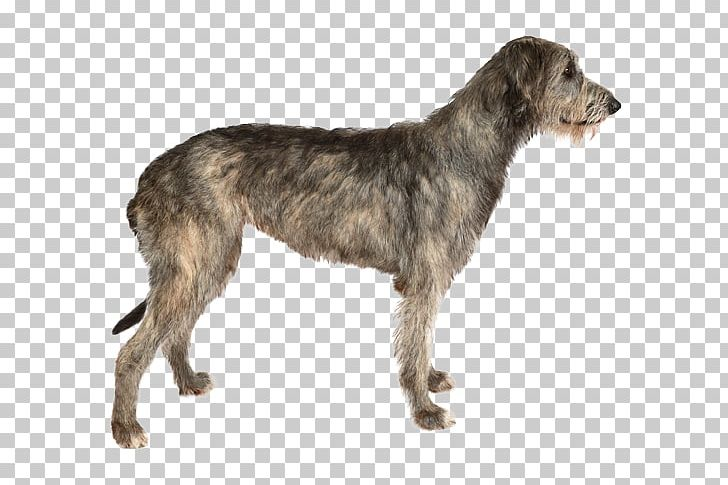Irish Wolfhound Stock Photography Dog Breed Purebred Dog PNG.