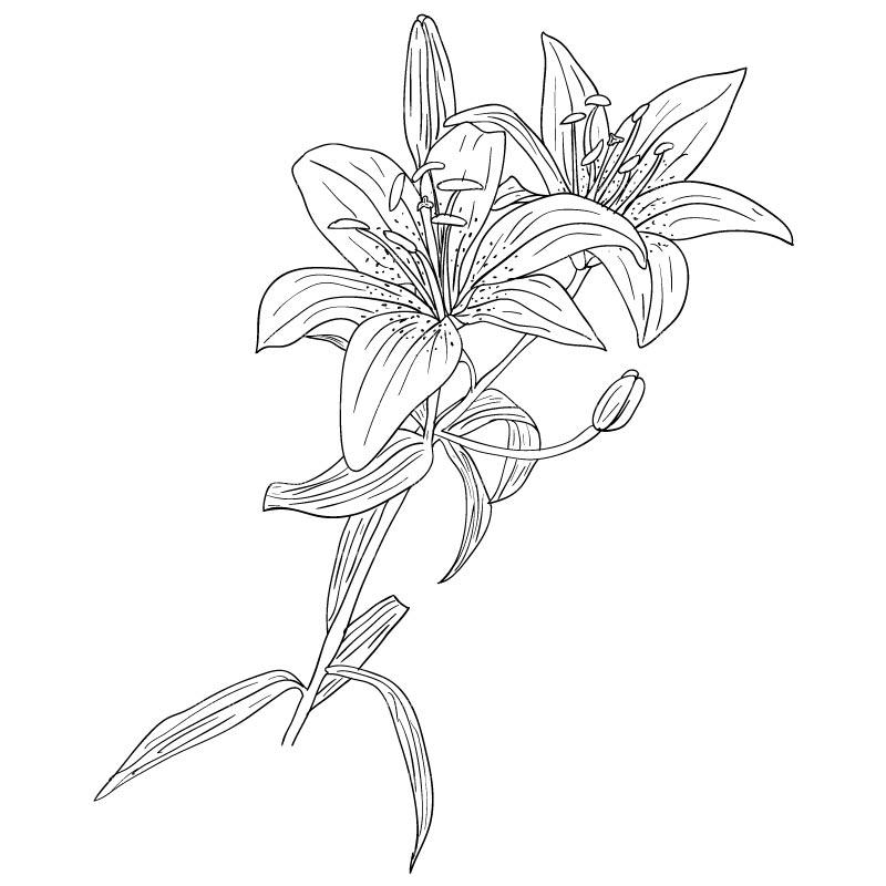 CLIPART LYS FLOWER.